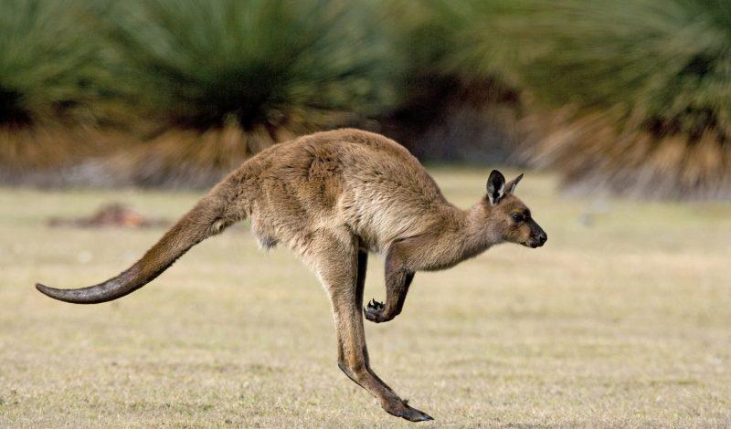 kangourou australie anglais séjour sydney